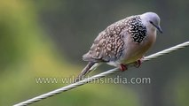 Red-whiskered Bulbul has become very common in the Nilgirs thanks to spread of Lantana