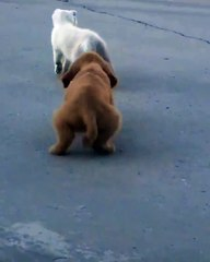 Un chiot tente de suivre un chaton
