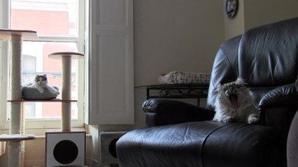 Des American curl, chats rares, à Montauban
