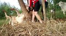 Des cyclistes viennent en aide à une vache coincée dans un arbre