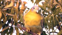 Birds of Delhi- Yellow-legged Green Pigeon Rose-ringed Parakeet and Ring Dove