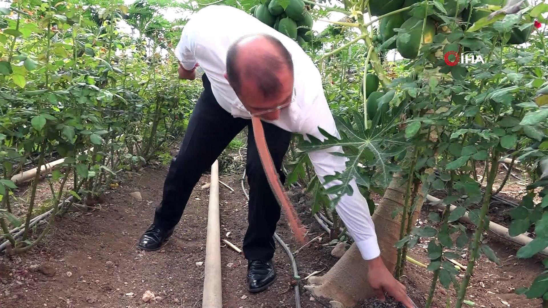 Yetiştirdiği papaya meyvesiyle ana vatan Meksika ve Malezya'ya rakip oldu