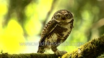World smallest owl is quite a predator- Collared Pygmy Owlet with lizard