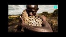 Le pangolin, espèce en voie d'extinction est aussi un magnifique sujet de photographie