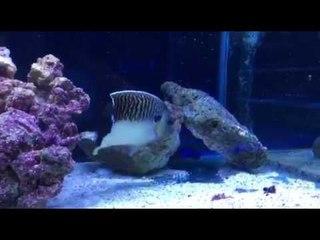 Super rare King angelfish for sale at Burscough Aquatics