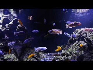 Scott Lynch's Malawi cichlid aquascape