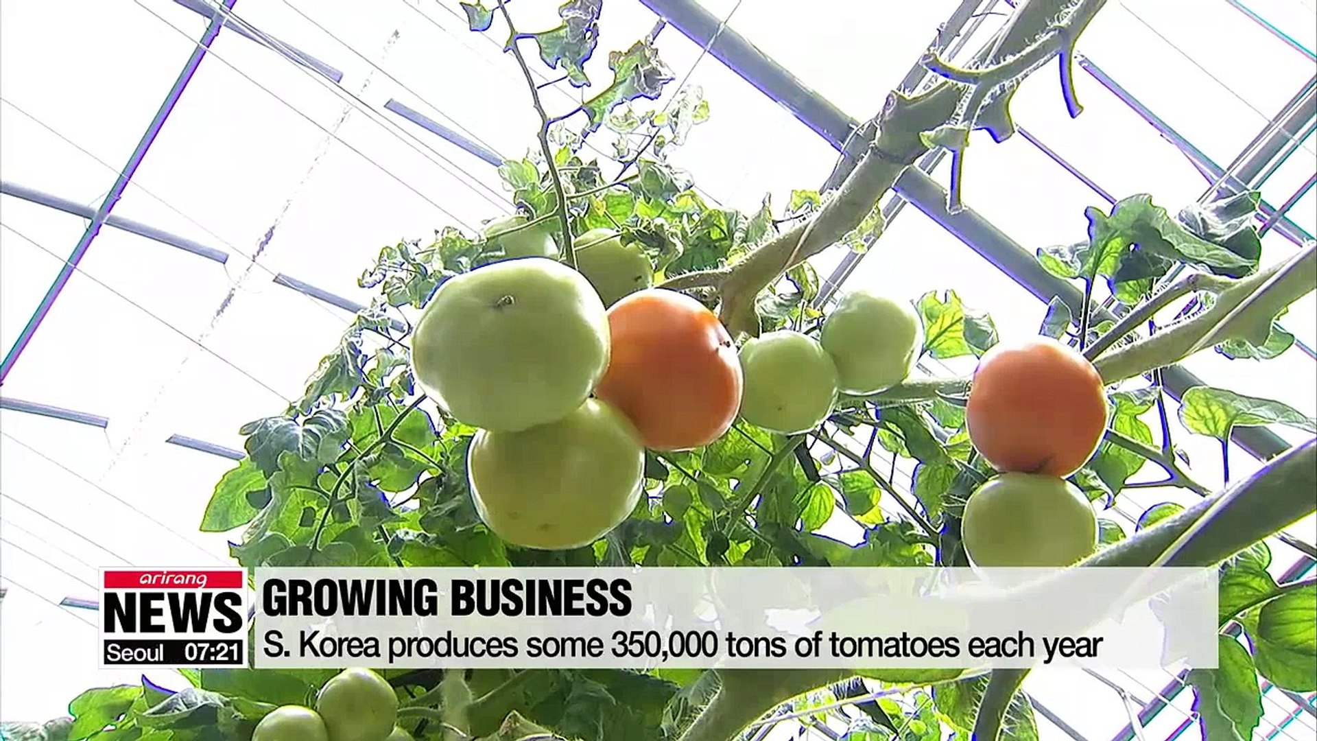 Local researchers discover bacteria that fends off disease from tomatoes