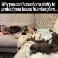 Staffies are the world's worst guard dogs!