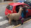 Quand un lama monte dans un taxi au Pérou !