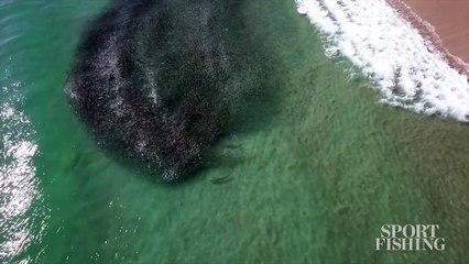 Mesmerizing Drone Video Shows Tarpon Attacking Mullet