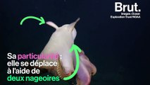 Connaissez-vous la pieuvre dumbo ?