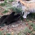 Deux otaries veulent jouer avec un bébé tigre