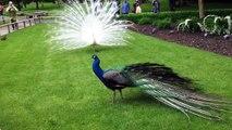 White Peacock vs  Blue Peacock