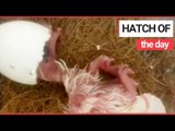 Rare Mauritius Pink Pigeon Chick Hatches!   SWNS TV