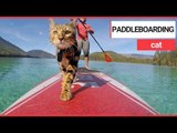 Water-loving feline Logan spends his days paddleboarding   SWNS TV