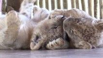 Víctor e Isabel los primeros leones nacidos por fecundación in vitro