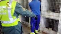 La Guardia Civil localiza un criadero ilegal de gallos de pelea en Madrid