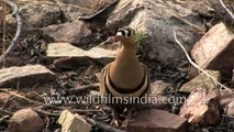Painted Sandgrouse with camouflaged chicks in central India