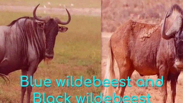 Blue wildebeest and Black wildebeest, 2019 show comedy action