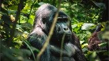 Mountain Gorilla Population Bouncing Back