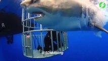 Ce plongeur dans une cage réussi à caresser le nez d'un énorme requin blanc
