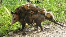 Cette maman opossum porte tout ses petits sur le dos... Adorable