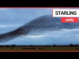 Starlings perform a spectacular murmuration in Gretna Green | SWNS TV