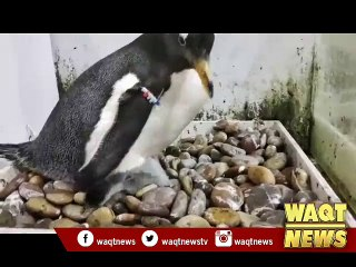 Penguin baby boom comes at Shengya Sea World in NE China