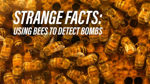 Using bees to detect bombs?