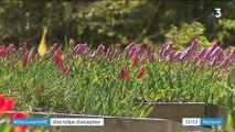 Hautes-Alpes : la tulipe de Guillestre, une plante au naturel
