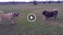 ANADOLU COBAN KOPEGi ve KAFKAS COBAN KOPEGi ATISMA - ANATOLiAN SHEPHERD DOG vs CAUCASiAN SHEPHERD DOG