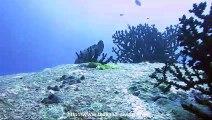 le merou des iles similans en thailande avec thailand diving pattaya