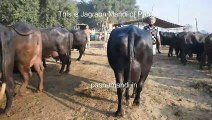 BHURI Buffalo - Brown Buffalo breed in the World - Katta Katti n