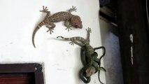 Un lézard vient aider son ami piégé par un serpent... Impressionnant
