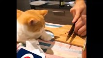 Couper des oignons fait aussi pleurer les chats !