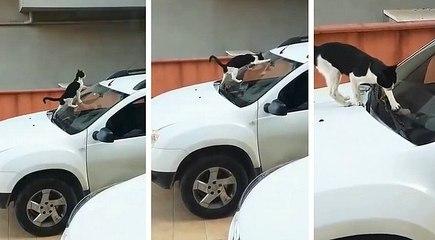 Arabanın Ön Camına Pisleyen Kediyi Gören Araba Sahibinin Tepkisi