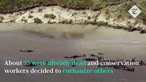 'Heartbreaking' stranding on remote New Zealand beach leaves 145 whales dead