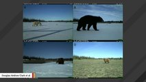 In A First, Team Spots Polar, Black, And Grizzly Bears All Hanging Out In The Same Place