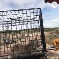 Feisty, young bobcat is scarier than he looks