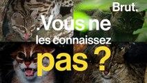 Le margay, le jaguarondi, le chat à tête plate… ces petits cousins du tigre qui sont menacés