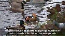 A Central Park, un canard mandarin séduit les passants