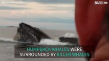 Killer whales approach humpback whales in Canada
