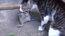 Ce chat a attrapé un rat aussi gros que lui... Bon chasseur