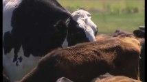 Knickers est l'un des bovins les plus gros du monde