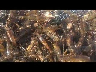 FPI apreende 11 mil peixes e camarões em ação no Rio São Francisco