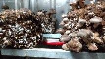 Culture de champignons bios de chez Pleurette dans des containers à Lomme