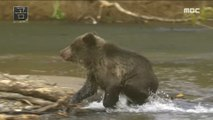 [NATURE] a predator Documentary Bear that steals food from its mother Documentary Bear,창사특집 UHD 다큐멘터리  20181203