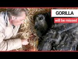 Conservationist says goodbye to Britain's oldest gorilla as she passed away | SWNS TV