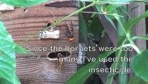 Des frelons s'en prennent à une ruche... Impressionnant