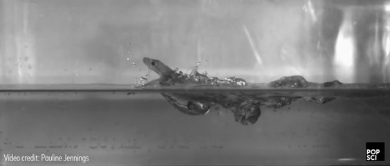 How geckos can run on top of water